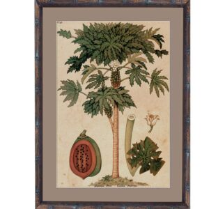 Buy Luxury Small BV Paw Paw Palm 1 BVRS-1 in NSW